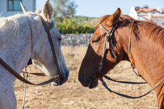 White and brown horses on the farm Royalty Free Stock Images