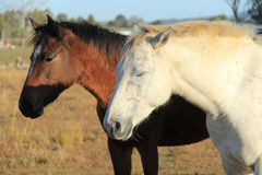 White and brown horses in a Farm. Standing white stallion resting in morning sunlight in a farm field Stock Photography