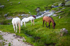 White and brown horses feeding near a water spring on Fagaras mo. Untain, Romania Royalty Free Stock Photos