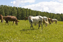 White and brown horses. Flock of white and brown horses on meadow Stock Photography