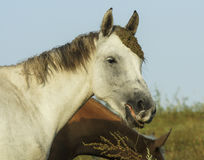 White and brown horses is on a green field Royalty Free Stock Photo