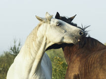 White and brown horses is on a green field Royalty Free Stock Photos