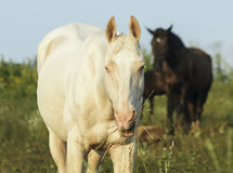 White and brown horses is on a green field Royalty Free Stock Photography