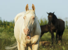 White and brown horses is on a green field Royalty Free Stock Image