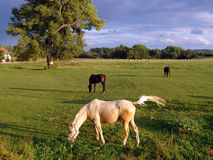 White and brown Horses in the green Nature Stock Photo