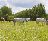 White and brown horses. Herd of white and brown horses grazing on meadow in blossom with camomiles Royalty Free Stock Photography