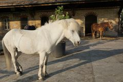 White and brown horses. White horse and brown horses at a farm for therapy with children Royalty Free Stock Photo