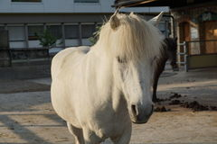 White and brown horses. White horse and brown horses at a farm for therapy with children Royalty Free Stock Images