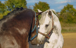 White and brown horses. White and brown horse touching faces Stock Image