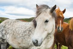 White and brown horses in Iceland. Beautiful white and brown horses in Iceland. Shallow depth of field Stock Photos