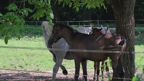 White and brown horses with little foal are in corral in farmland