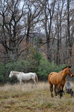 White and brown horses Stock Images
