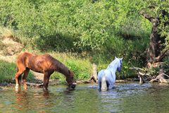 White and brown horses by the river drink water.  royalty free stock images