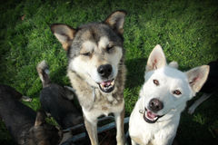 White and brown huskies. Portrait of brown and white huskies in a group of other dogs Royalty Free Stock Photo