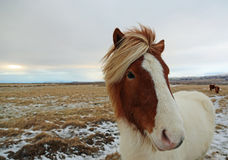 White-brown Icelandic horse Stock Image