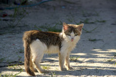 White and Brown Kitten. A cute kitten looks longingly for a home Stock Image