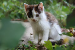 White and Brown Kitten in the Garden, Czech Republic, Europe Royalty Free Stock Image