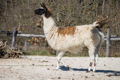 White and brown lama. In a park stock photo