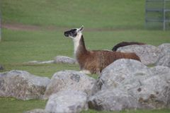 White brown llama with black head lying on a green field stock photography