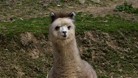 White and brown llama Stock Images