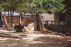 White and brown llama in the small zoo stock photo