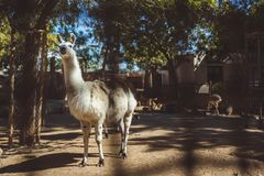 White and brown llamas in the small zoo royalty free stock images