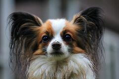 White Brown Long Coat Small Dog stock photos