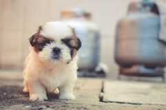 White and Brown Long Coated Puppy Macroshot Photography Royalty Free Stock Photography