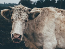 White and Brown Long Haired Cattle Stock Photography
