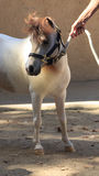 White and brown miniature horse wearing a halter Royalty Free Stock Image