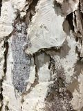 An white and brown mixed bark background Stock Photography