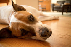 White and Brown Mixed Boxer-Pointer Dog Resting on Wooden Interi. A White and Brown Mixed Boxer-Pointer Dog Rests on a Wooden Interior Floor, looking offscreen Royalty Free Stock Images