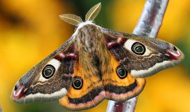 White Brown and Orange Moth Stock Image