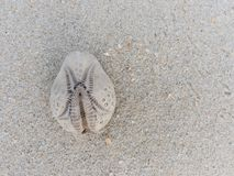 White and brown oval shape sea anemone shell over sandy texture background. With theme concept of holiday stock photos