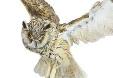 White- brown owl Royalty Free Stock Photo