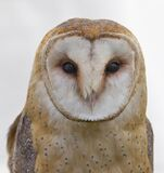 White and Brown Owl stock photo