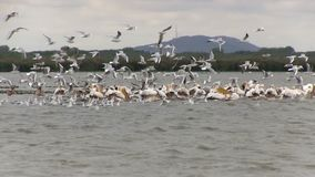 White and brown pelicans in the Danube delta in Romania