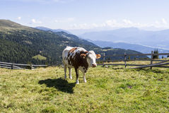 White, brown piebald cow on an Austrian Alp in summer time. Royalty Free Stock Image