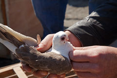 White Brown Pigeon in Hand Royalty Free Stock Photography