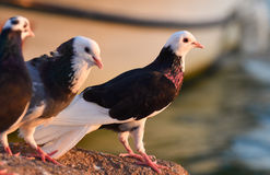 White and brown pigeons standing near the sea. Stock Images
