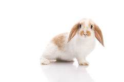 White and brown rabbit Royalty Free Stock Photography