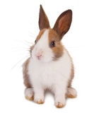 White and brown rabbit. White and brown little baby rabbit on a white background stock photography