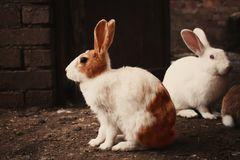 White and Brown Rabbit on Brown Soil Royalty Free Stock Photography
