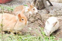 White and brown rabbit Royalty Free Stock Image