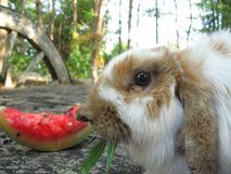A white and brown rabbit eating grass and watermelon. stock images