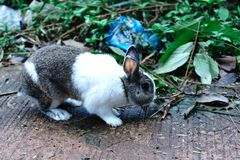 White-brown rabbit are five years old.It is a beautiful animal. royalty free stock photo