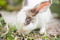 White and brown rabbit on grass Royalty Free Stock Photography
