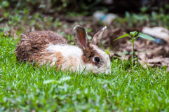 White brown rabbit in grass field Stock Photos