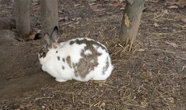 White brown rabbit hiding Stock Image