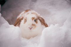 White and brown rabbit in snow Royalty Free Stock Photos